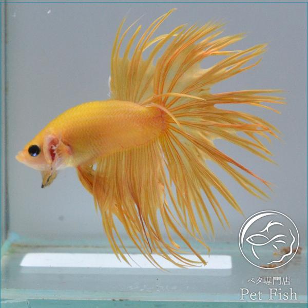 ベタ熱帯魚生体クラウンテールイエローオス