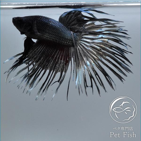 ベタ熱帯魚生体クラウンテールカッパーオス