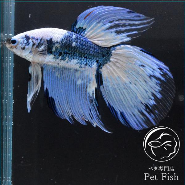 ベタ熱帯魚生体ベールテールオス