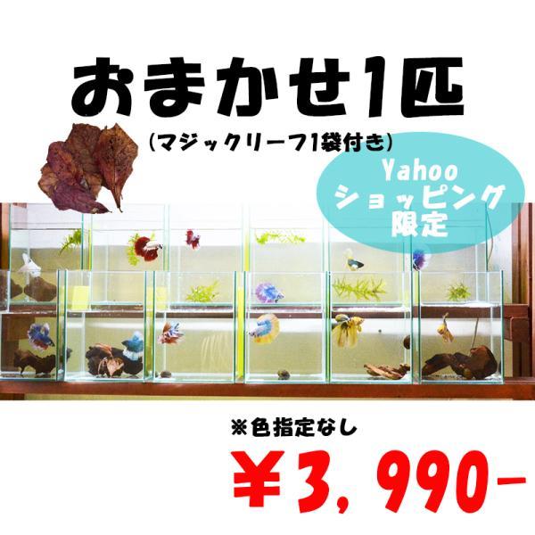 ベタ熱帯魚生体オス2匹お得なベタオスお任せセット