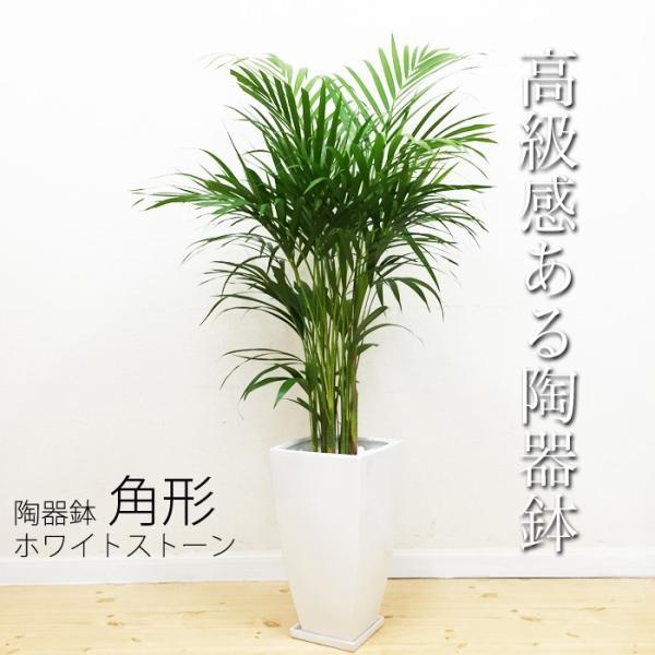 アレカヤシ 陶器鉢 角型 観葉植物 ヤシの木 ヤシ 送料無料|pg869