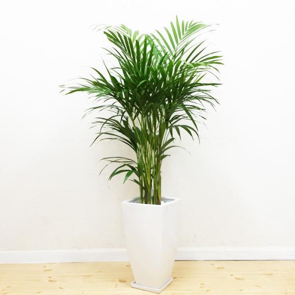 アレカヤシ 陶器鉢 角型 観葉植物 ヤシの木 ヤシ 送料無料|pg869|02