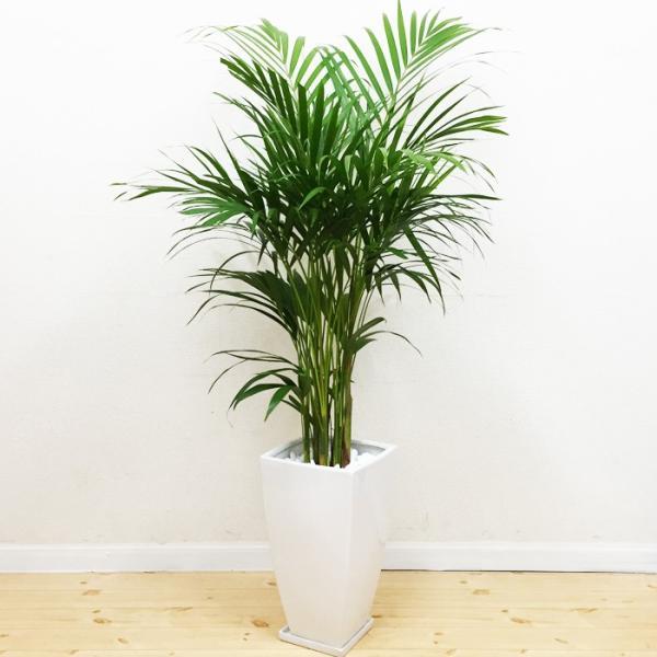アレカヤシ 陶器鉢 角型 観葉植物 ヤシの木 ヤシ 送料無料|pg869|03