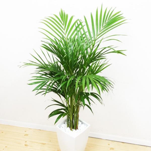 アレカヤシ 陶器鉢 角型 観葉植物 ヤシの木 ヤシ 送料無料|pg869|04