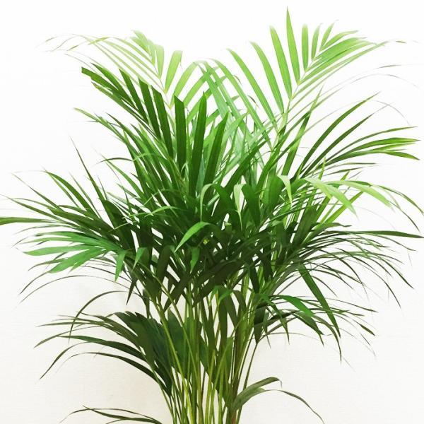アレカヤシ 陶器鉢 角型 観葉植物 ヤシの木 ヤシ 送料無料|pg869|05