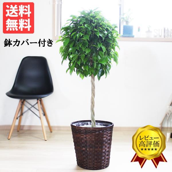 ベンジャミン 8号鉢 鉢カバー付 観葉植物 送料無料 ゴムの木 フィカス ベンジャミナ 大型 即日出荷|pg869