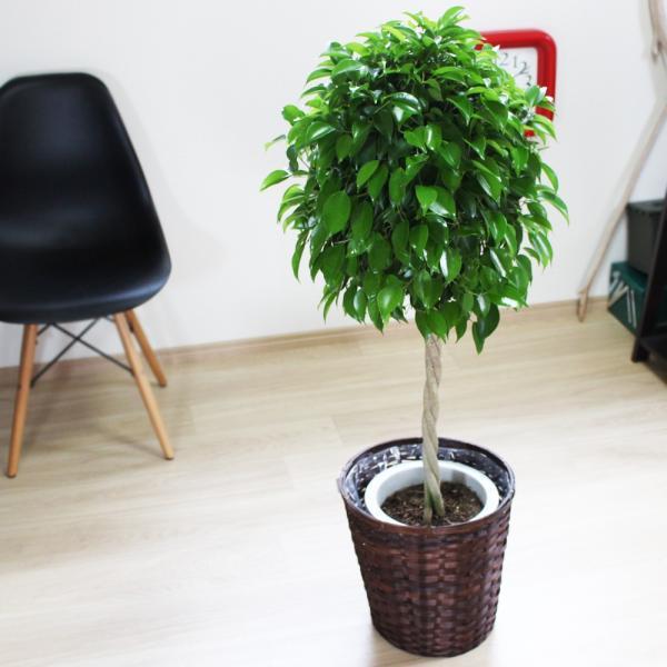 ベンジャミン 8号鉢 鉢カバー付 観葉植物 送料無料 ゴムの木 フィカス ベンジャミナ 大型 即日出荷|pg869|02