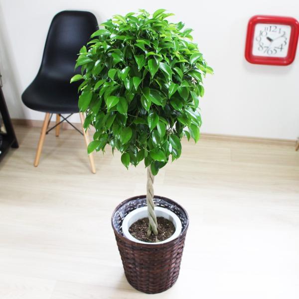ベンジャミン 8号鉢 鉢カバー付 観葉植物 送料無料 ゴムの木 フィカス ベンジャミナ 大型 即日出荷|pg869|03