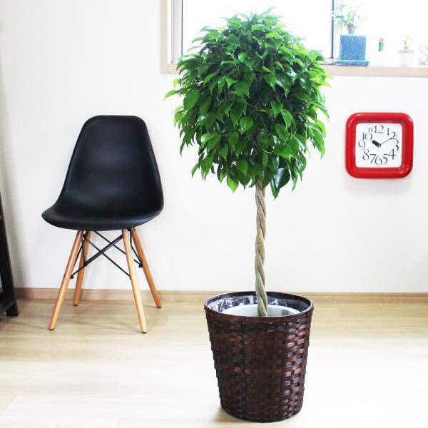 ベンジャミン 8号鉢 鉢カバー付 観葉植物 送料無料 ゴムの木 フィカス ベンジャミナ 大型 即日出荷|pg869|05