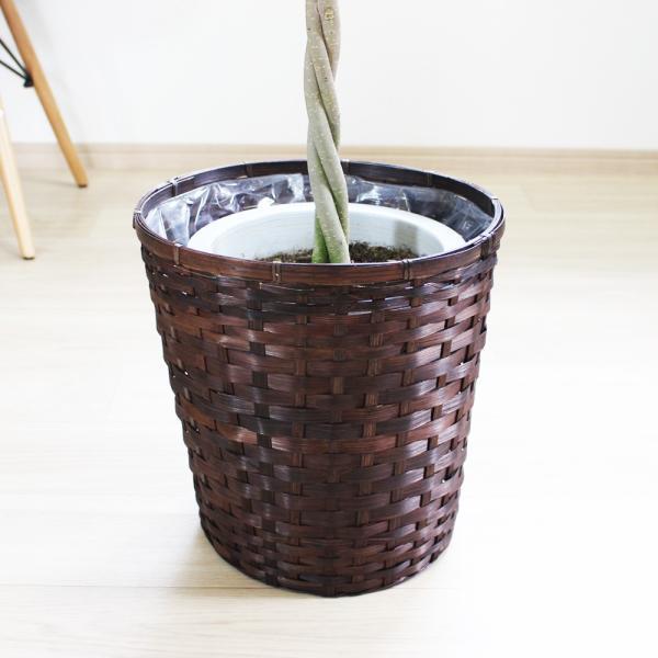 ベンジャミン 8号鉢 鉢カバー付 観葉植物 送料無料 ゴムの木 フィカス ベンジャミナ 大型 即日出荷|pg869|06