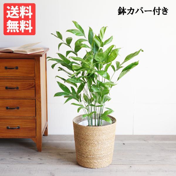 高性チャメドレア 鉢カバー付 観葉植物 送料無料 ヤシの木  中〜大型サイズ pg869