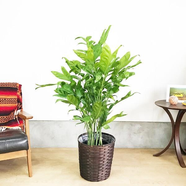 高性チャメドレア 鉢カバー付 観葉植物 送料無料 ヤシの木  中〜大型サイズ pg869 02