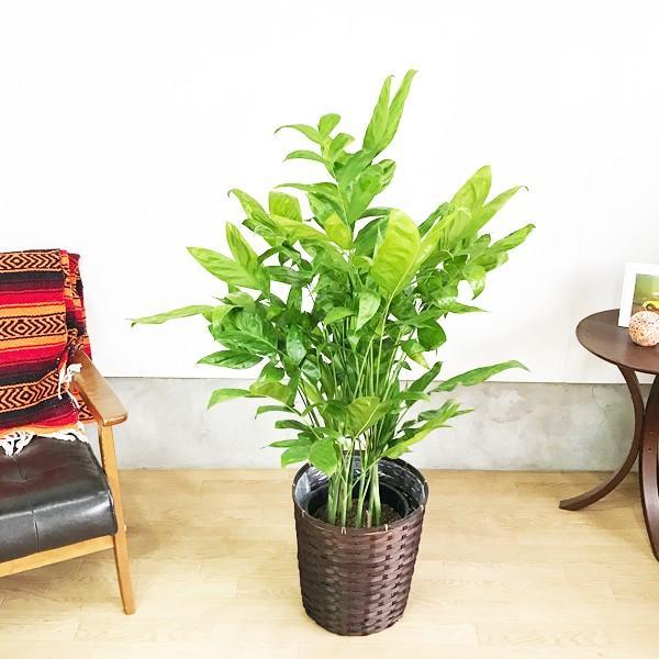 高性チャメドレア 鉢カバー付 観葉植物 送料無料 ヤシの木  中〜大型サイズ pg869 03