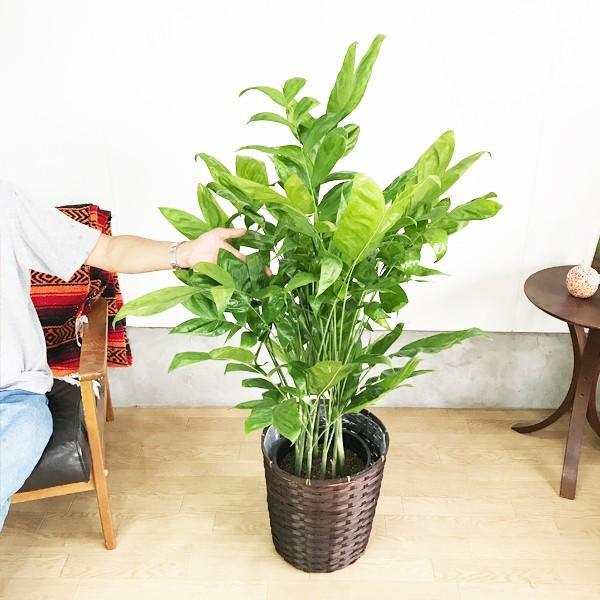 高性チャメドレア 鉢カバー付 観葉植物 送料無料 ヤシの木  中〜大型サイズ pg869 04