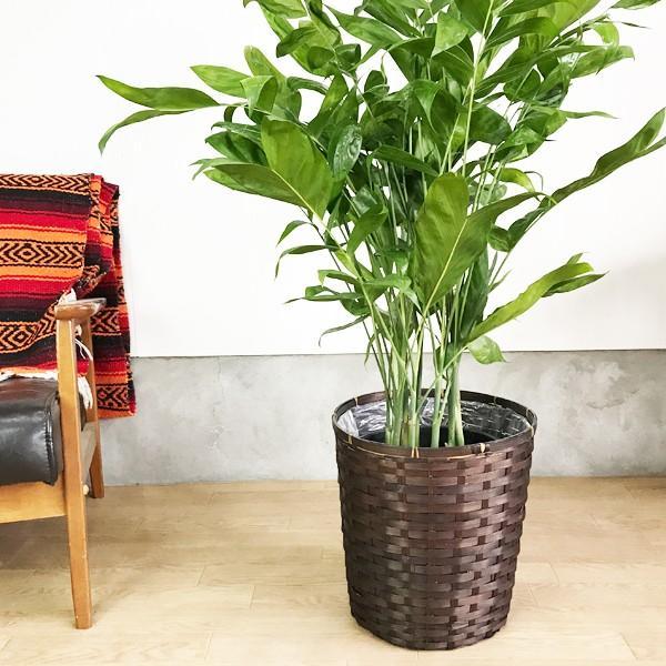 高性チャメドレア 鉢カバー付 観葉植物 送料無料 ヤシの木  中〜大型サイズ pg869 05