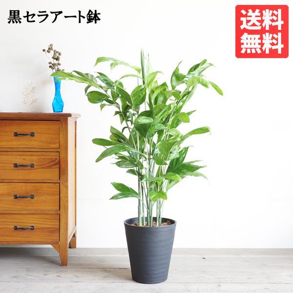 高性チャメドレア ヤシの木 観葉植物 ブラックセラアート鉢 送料無料|pg869