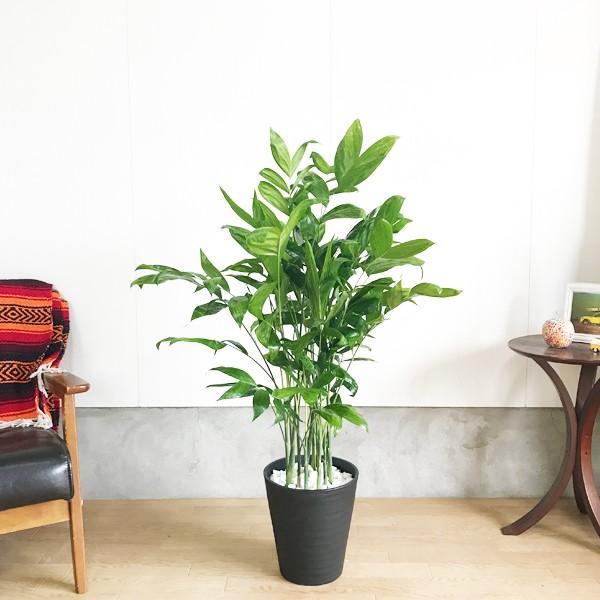 高性チャメドレア ヤシの木 観葉植物 ブラックセラアート鉢 送料無料|pg869|02
