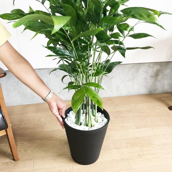 高性チャメドレア ヤシの木 観葉植物 ブラックセラアート鉢 送料無料|pg869|04