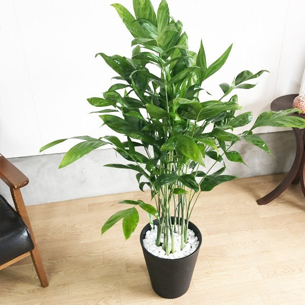 高性チャメドレア ヤシの木 観葉植物 ブラックセラアート鉢 送料無料|pg869|05