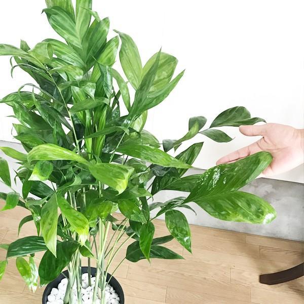 高性チャメドレア ヤシの木 観葉植物 ブラックセラアート鉢 送料無料|pg869|06