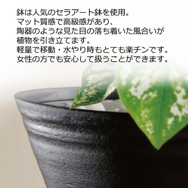 高性チャメドレア ヤシの木 観葉植物 ブラックセラアート鉢 送料無料 pg869 07
