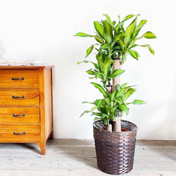 幸福の木 鉢カバー付 観葉植物 送料無料 マッサン ドラセナ 中型〜大型|pg869|02