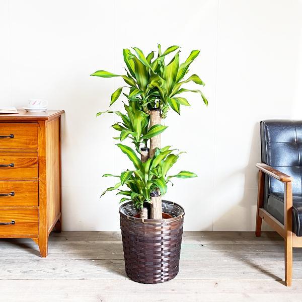 幸福の木 鉢カバー付 観葉植物 送料無料 マッサン ドラセナ 中型〜大型|pg869|03