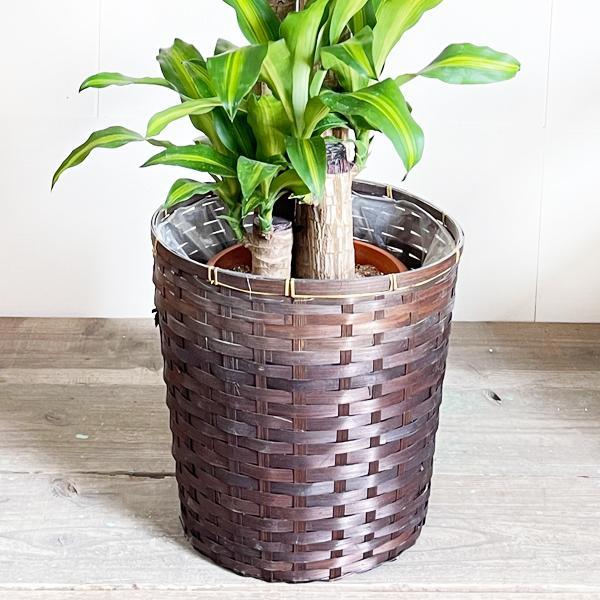 幸福の木 鉢カバー付 観葉植物 送料無料 マッサン ドラセナ 中型〜大型|pg869|05