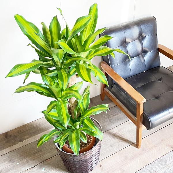 幸福の木 鉢カバー付 観葉植物 送料無料 マッサン ドラセナ 中型〜大型|pg869|06
