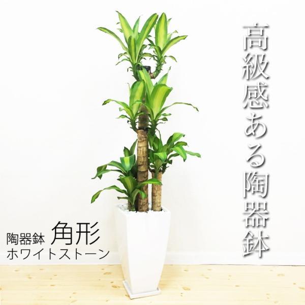 幸福の木 陶器鉢 角型 観葉植物 マッサン 送料無料|pg869