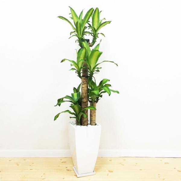 幸福の木 陶器鉢 角型 観葉植物 マッサン 送料無料|pg869|02