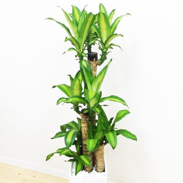 幸福の木 陶器鉢 角型 観葉植物 マッサン 送料無料|pg869|03