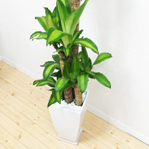 幸福の木 陶器鉢 角型 観葉植物 マッサン 送料無料|pg869|04