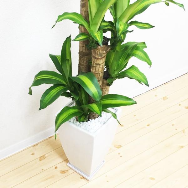 幸福の木 陶器鉢 角型 観葉植物 マッサン 送料無料|pg869|05