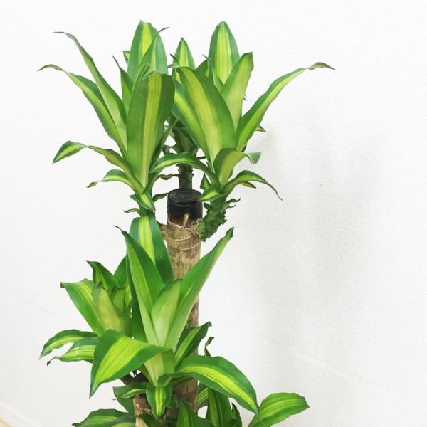 幸福の木 陶器鉢 角型 観葉植物 マッサン 送料無料|pg869|06