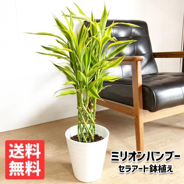 ミリオンバンブー 幸運の竹 ホワイトセラアート鉢 観葉植物 ラッキーバンブー 中型 ドラセナ|pg869