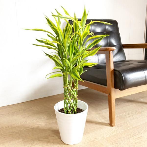 ミリオンバンブー 幸運の竹 ホワイトセラアート鉢 観葉植物 ラッキーバンブー 中型 ドラセナ|pg869|02