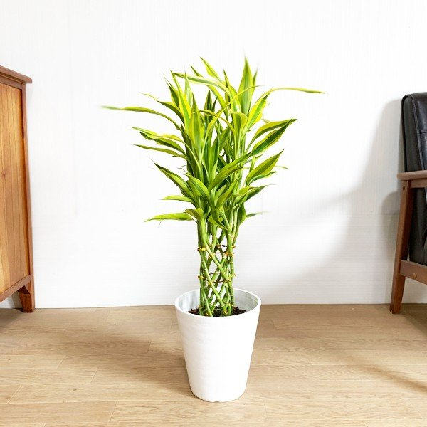 ミリオンバンブー 幸運の竹 ホワイトセラアート鉢 観葉植物 ラッキーバンブー 中型 ドラセナ|pg869|03