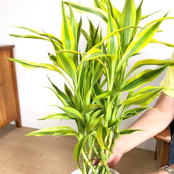 ミリオンバンブー 幸運の竹 ホワイトセラアート鉢 観葉植物 ラッキーバンブー 中型 ドラセナ|pg869|04