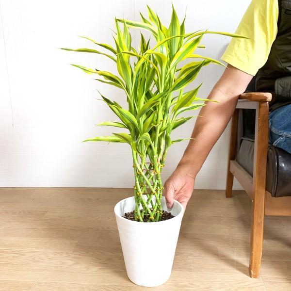 ミリオンバンブー 幸運の竹 ホワイトセラアート鉢 観葉植物 ラッキーバンブー 中型 ドラセナ|pg869|05