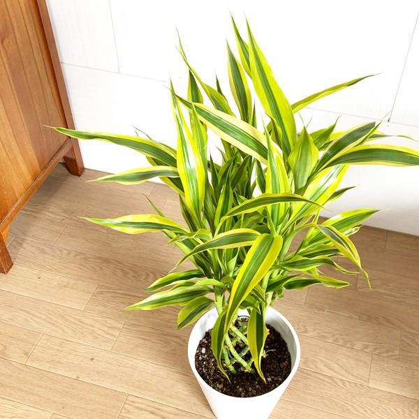 ミリオンバンブー 幸運の竹 ホワイトセラアート鉢 観葉植物 ラッキーバンブー 中型 ドラセナ|pg869|06