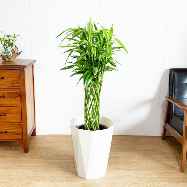 ミリオンバンブー 8号 スタイリッシュな白色鉢カバー付 ドラセナ 観葉植物 送料無料 大型|pg869|02