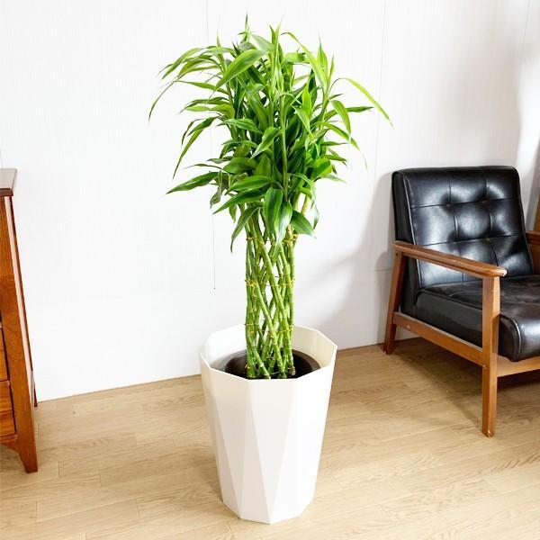 ミリオンバンブー 8号 スタイリッシュな白色鉢カバー付 ドラセナ 観葉植物 送料無料 大型|pg869|03