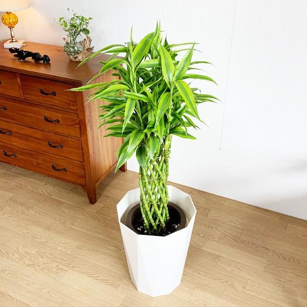 ミリオンバンブー 8号 スタイリッシュな白色鉢カバー付 ドラセナ 観葉植物 送料無料 大型|pg869|04