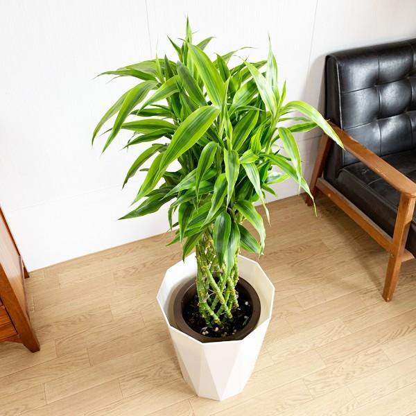 ミリオンバンブー 8号 スタイリッシュな白色鉢カバー付 ドラセナ 観葉植物 送料無料 大型|pg869|05