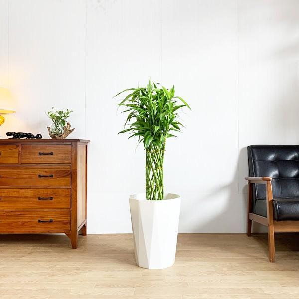 ミリオンバンブー 8号 スタイリッシュな白色鉢カバー付 ドラセナ 観葉植物 送料無料 大型|pg869|06