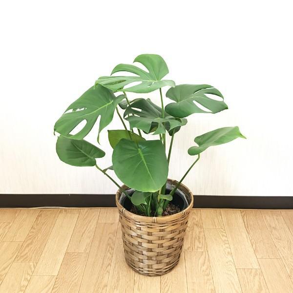モンステラ 鉢カバー付  観葉植物 送料無料 中型|pg869|05