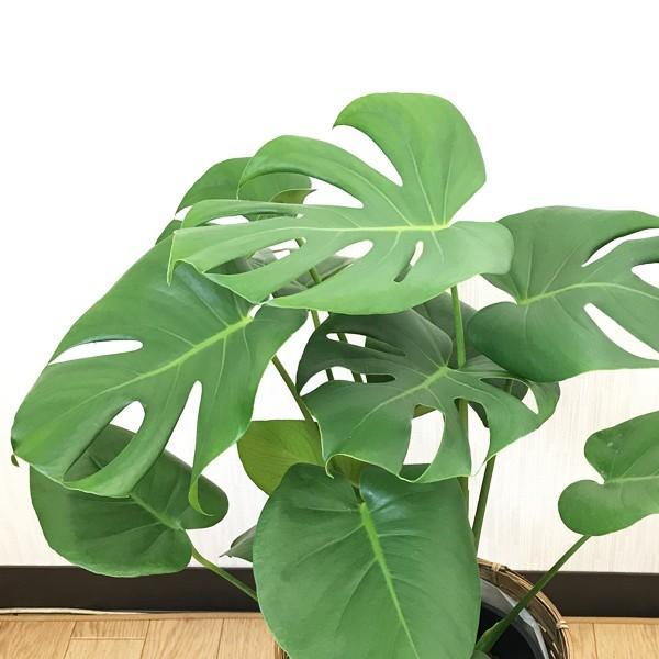 モンステラ 鉢カバー付  観葉植物 送料無料 中型|pg869|06