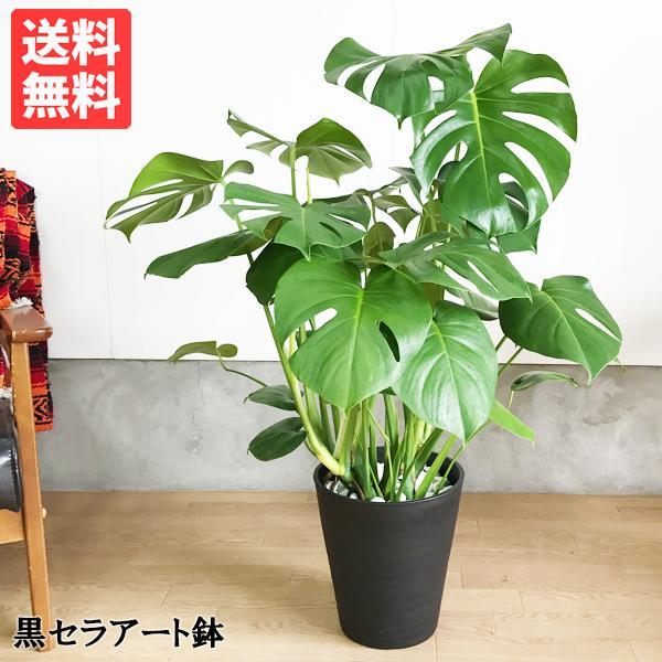 モンステラ  観葉植物 ブラックセラアート鉢 送料無料 大サイズ 大型|pg869