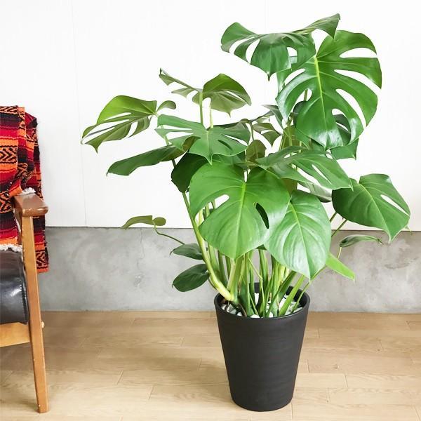 モンステラ  観葉植物 ブラックセラアート鉢 送料無料 大サイズ 大型|pg869|02